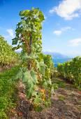 Lavaux region — Stock Photo