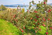 Apple garden  — Stock Photo