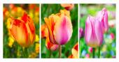 Fresh blooming tulips — Stock Photo