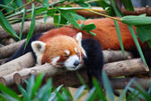 Red panda (firefox) — Stock Photo