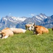 Swiss cows in the alps — Stock Photo #70385351