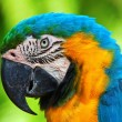 Blue and yellow macaw — Stock Photo #70385589