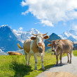 Swiss cows in the alps — Stock Photo #70386019