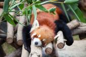 Red panda sleeping on the tree — Foto de Stock