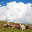 Swiss cows on nature — Stock Photo #71698307