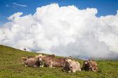 Swiss cows on nature — Stock Photo