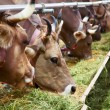 Close-up of swiss cows — Stock Photo #73000491
