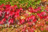 Autumn ivy leaves — Stock Photo