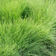 Natural short grass  background — Stock Photo #66215663
