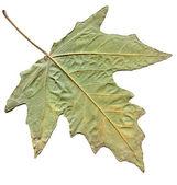Maple autumn leaf isolated on white background — Stock Photo