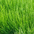 Natural short grass  background — Stock Photo #67261223