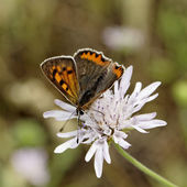 Lycaena phlaeas, Small Copper from Europe, common names are American Copper, Common Copper — 图库照片