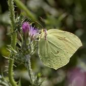 Gonepteryx cleopatra, Cleopatra, Cleopatra butterfly from Corsica, France, Southern Europe — Stock Photo