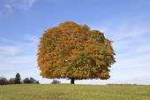 Horse chestnut tree (Aesculus hippocastanum) Conker tree in autumn, Lengerich, North Rhine-Westphalia, Germany, Europe — Stock Photo