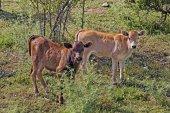 Young calves near Belgodere, N197 (Nebbio region), Corsica, France — Stock Photo