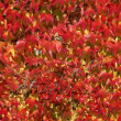 Parthenocissus tricuspidata, Japanese creeper, Woodbine, Boston Ivy, Ivy in autumn, Germany — Stock Photo #59386223