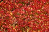 Parthenocissus tricuspidata, Japanese creeper, Woodbine, Boston Ivy, Ivy in autumn, Germany — Stock Photo