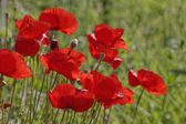 Papaver rhoeas, Corn Poppy, Corn Rose, Field Poppy, Flanders Poppy, Red Poppy, Red Weed, Coquelicot — Stock Photo