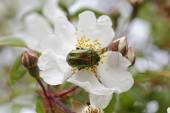Cetonia aurata, Rose Chafer on a wild rose, Corsica, France, Europe — Stock Photo