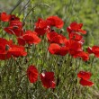 Corn Poppy (Papaver rhoeas) also Corn Rose, Field Poppy, Flanders Poppy, Red Poppy, Red Weed, Coquelicot on a meadow in Europe — Stock Photo #59896819