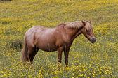 Koně na louce květina v Korsika, Francie, Evropa — Stock fotografie