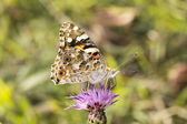 Vanessa cardui, Painted Lady butterfly from Lower Saxony, Germany — Stock Photo