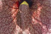 Aristolochia gigantea, Giant pelican flower, Brazilian Dutchman's Pipe — Stock Photo