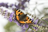 Nymphalis urticae (Aglais urticae), Small Tortoiseshell from Lower Saxony, Germany — Stock Photo