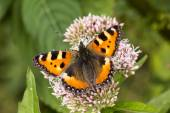Aglais urticae, Nymphalis urticae, Small Tortoiseshell on Hemp-agrimony, Eupatorium cannabinum, Lower Saxony, Germany — Stock Photo