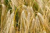 Hordeum vulgare, Common Barley plant in summer, Germany — Stock Photo