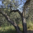 Anchiano, district of Vinci, landscape with olive trees, Tuscany, Italy — Stock Photo #73557991