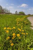 Common Dandelion flowers (Taraxacum officinale) in spring, Lower Saxony, Germany — Stock Photo
