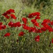 Corn Poppy (Papaver rhoeas) also Corn Rose, Field Poppy, Flanders Poppy, Red Poppy, Red Weed, Coquelicot on a meadow in Europe — Stock Photo #78726366