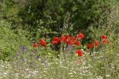 Corn Poppy (Papaver rhoeas) also Corn Rose, Field Poppy, Flanders Poppy, Red Poppy, Red Weed, Coquelicot on a meadow in Europe — Stock Photo