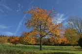 Cherry trees in autumn, Hagen, Germany, Europe — Stock Photo