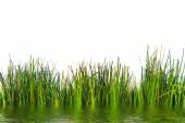 Fresh Green Grasses Growing at the Water — Stock Photo