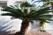 Close up Sago Palm Tree Outside the House — Stock Photo