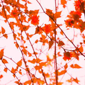 Red Orange Hawthorn Leaves During Autumn Season — Stock Photo