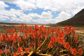 Red Aloe Plants in Scenic Mountain Valley — Stock Photo