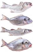 Fish seabass and dorado — Stock Photo