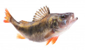 Fish perch — Stock Photo