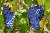 Ripe grapes of Piedmont, Italy. — Stock Photo