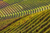 Rows of vineyards in the hills. — Stock Photo