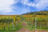 Autumnal vineyards in Piedmont, Italy. — Stock Photo