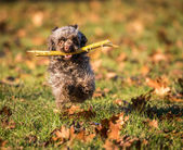 Dog breed Russian color lap dog in autumn park — Stock Photo