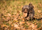 Dog breed Russian color lap dog — Stock Photo