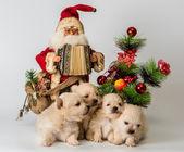 Four puppy of breed a Pomeranian spitz-dog in studio — Stock fotografie