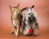 Cat and bolonka zwetna in studio — Stock Photo