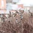 A flock of sparrows — Stock Photo #59036991