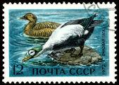 Vintage  postage stamp. Eider duck. — Stock Photo